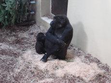 gorilla's Burgers zoo